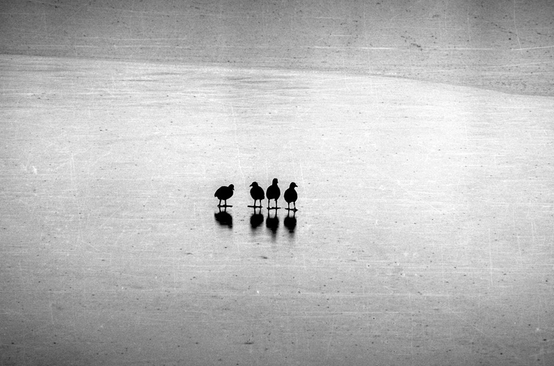Birds are standing on the frozen lake. Belgrade, Serbia.